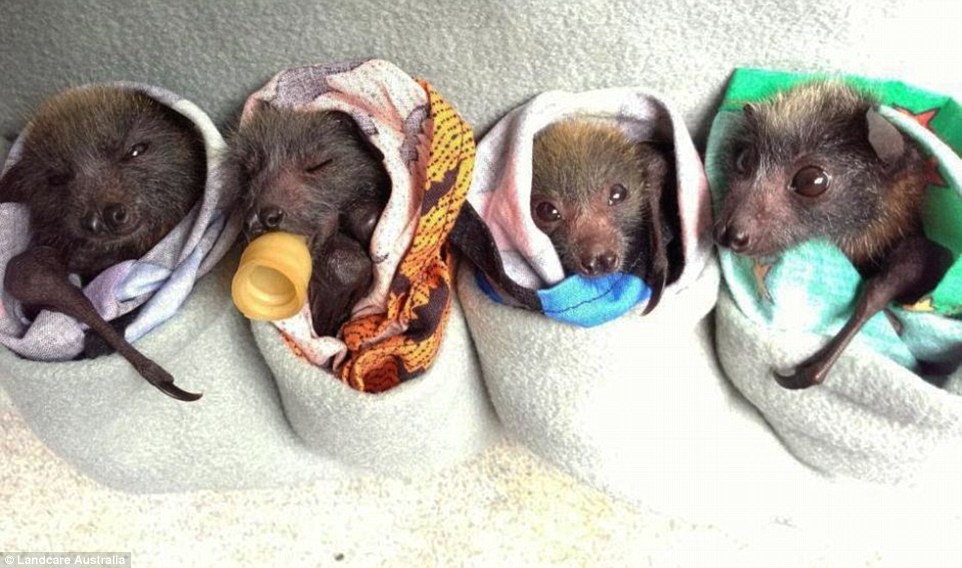 296AEA7E00000578-3114149-Four_fruit_bat_pups_who_were_injured_after_being_electrocuted_on-m-2_1433671588132
